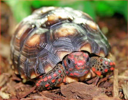 tortue-pattes-rouges.jpg